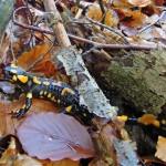 sol de sous bois de feuilles d'automne et debrindilles sur lequel rampe une salamandre tachetée de feu