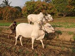 des boeufs tire une charrue dans une terre sèche deafrique ou d'inde. Un homme lutte autant qu'eux pour pousser la charrue